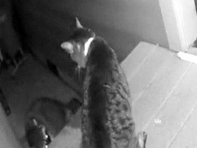 Кот Бэйли отважно защищает свой дом