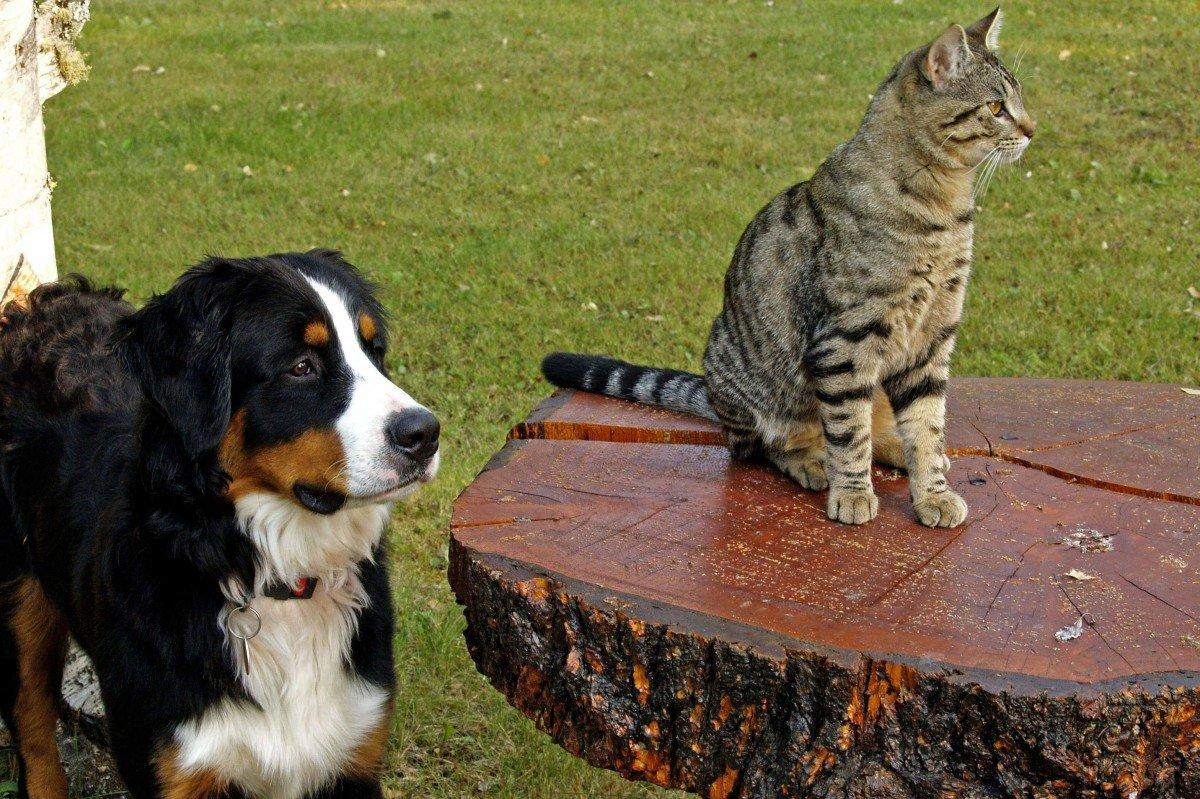 Азиатская табби рядом с собакой