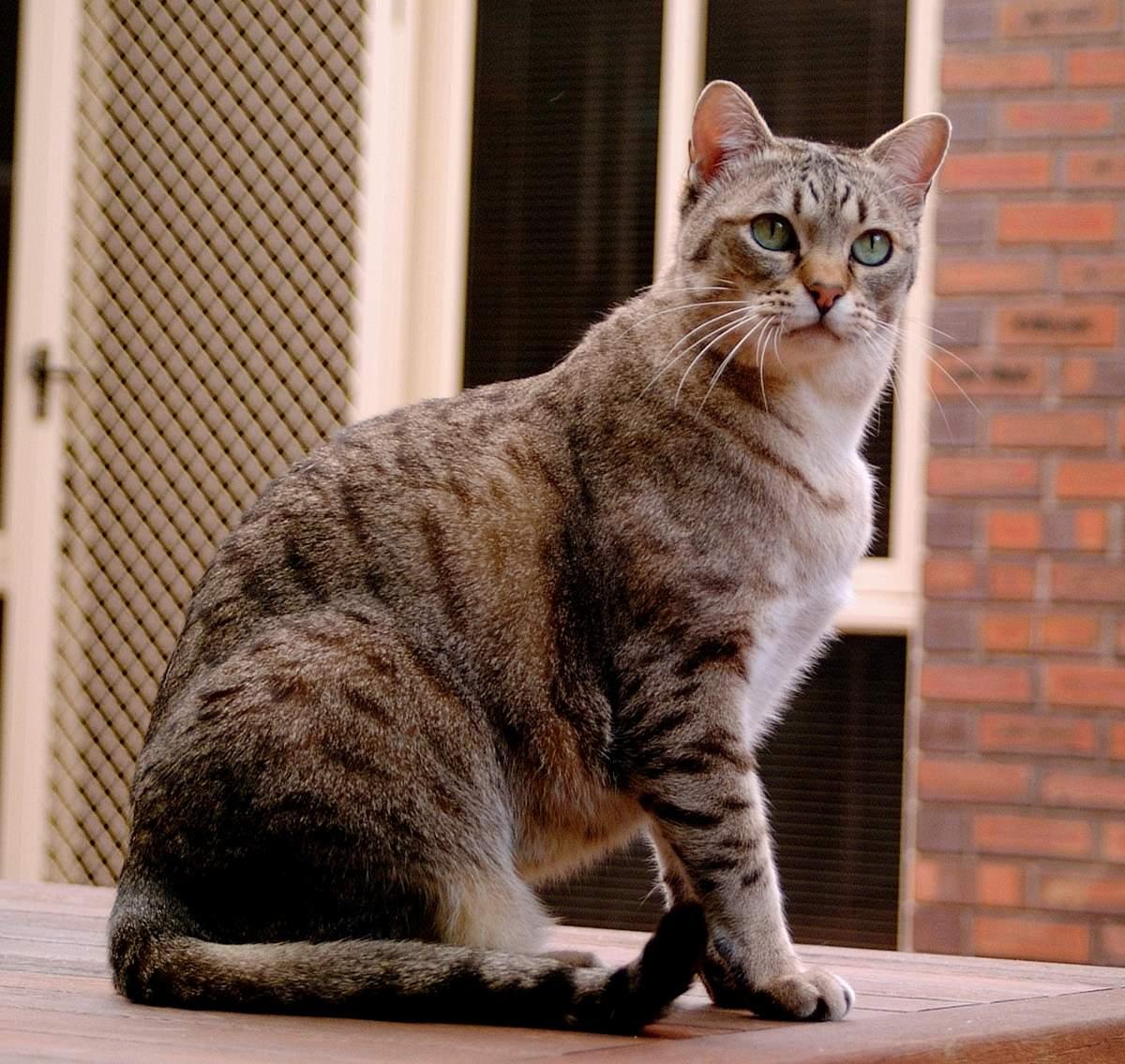 Кот породы азиатская табби