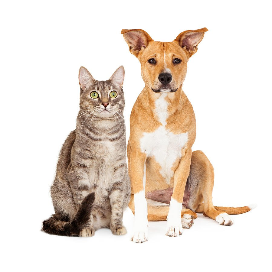 Кошка азиатской табби с собакой