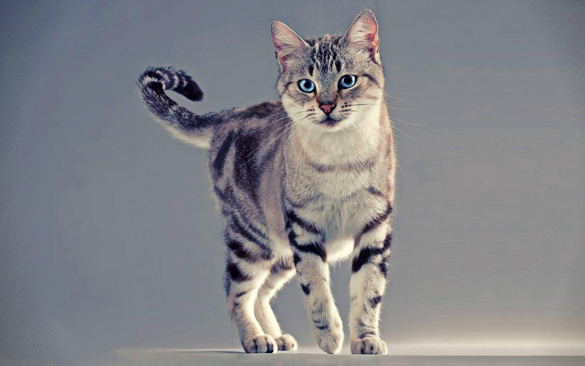 Кошечка породы азиатская табби