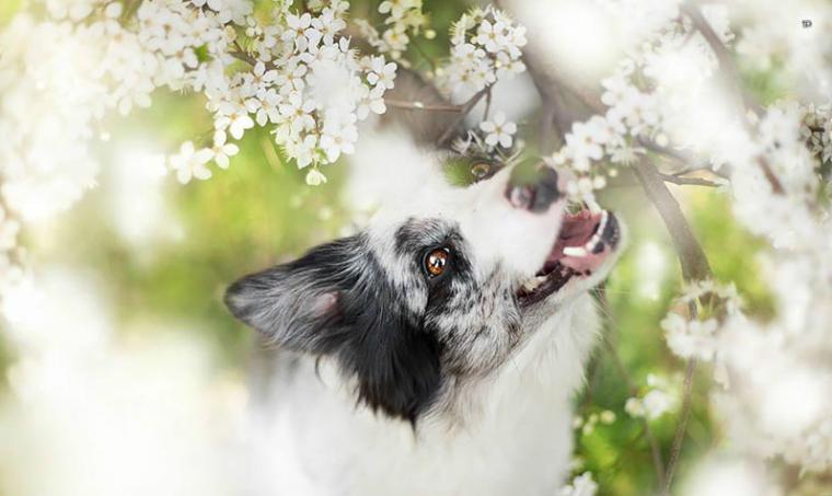 Собака среди черёмухи Фотограф Алисия Змысловска