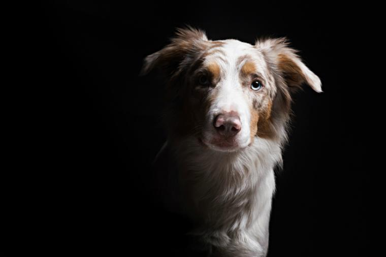 Собака на чёрном фоне. Фотограф Алисия Змысловска