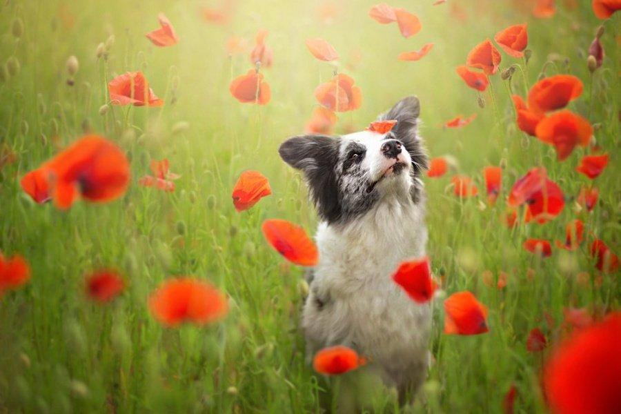 Собака в поле среди маков. Фотограф Алисия Змысловска