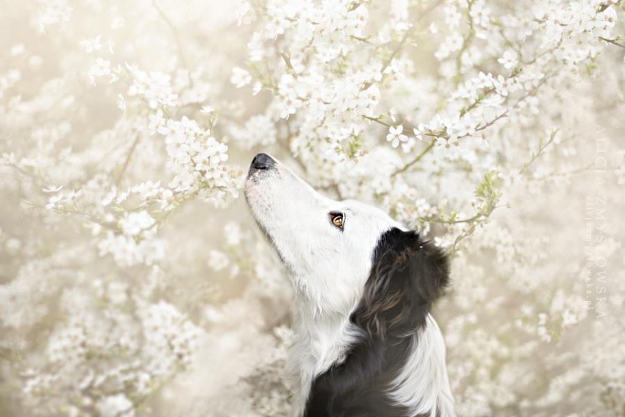 Собака среди черёмуховых цветов. Фотограф Алисия Змысловска