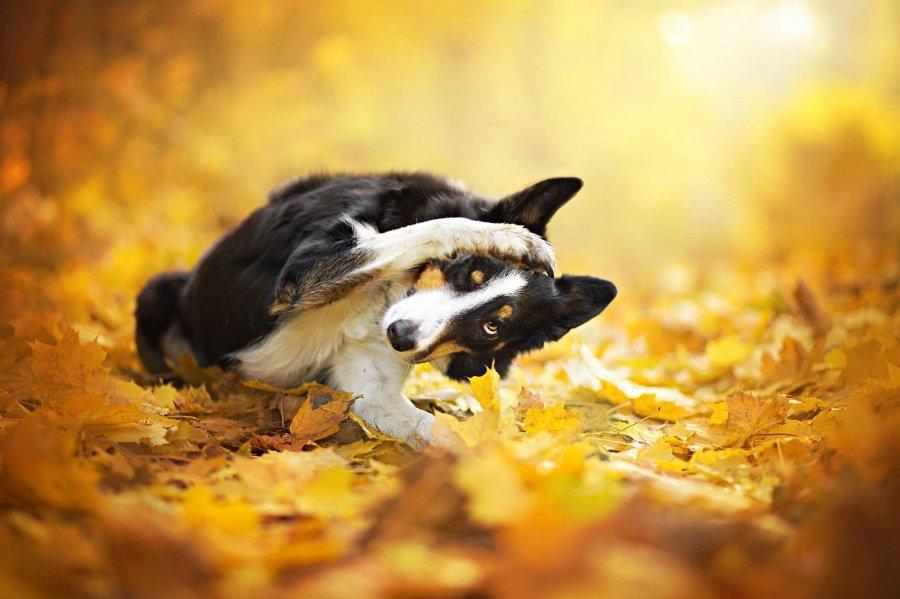 Собака резвится в жёлтых листьях. Фотограф Алисия Змысловска