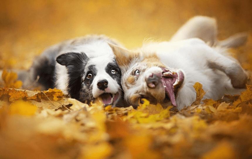 Щенки резвятся в осенних листьях. Фотограф Алисия Змысловска