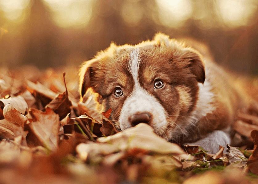 Щенок играет с осенними листьями. Фотограф Алисия Змысловска