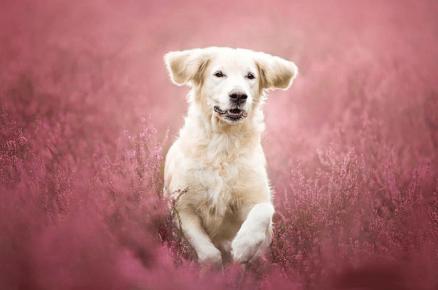 Собака бежит по цветочному полю. Фотограф Алисия Змысловска