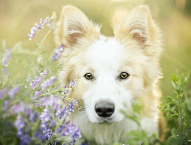 Собака с полевыми цветами. Фотограф Алисия Змысловска