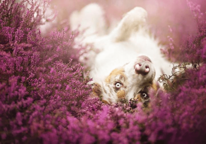Собака среди полевых цветов. Фотограф Алисия Змысловска