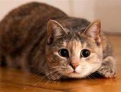 Для усатых из Японии готовы выделить отдельную комнату в городе котов в Калининградской области