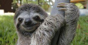 ленивец животное