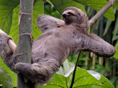 Ленивец отдыхает