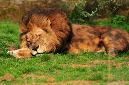 Лев спит