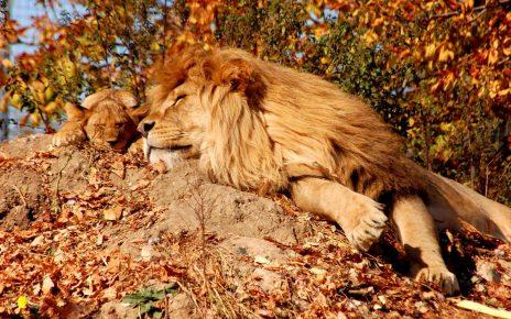 Лев и львёнок спят