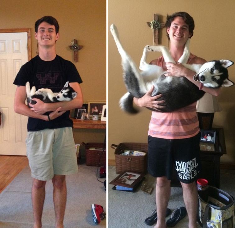 Хаски до и после того, как собака выросла