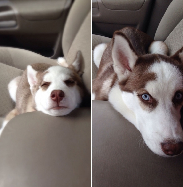 Щенок хаски и взрослая собака