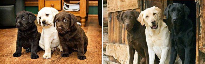 Лабрадоры до и после того, как они выросли