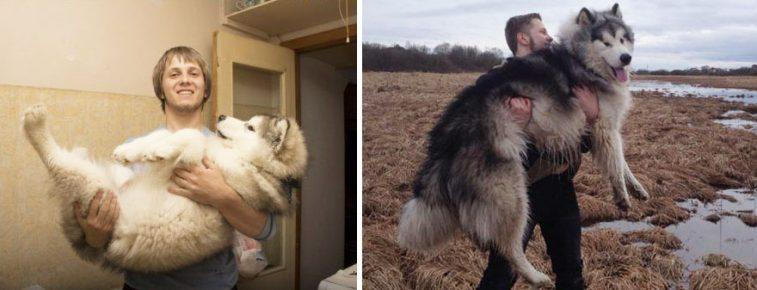 Аляскинский маламут до и после того, как вырос