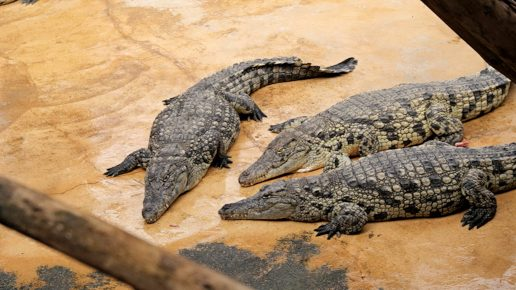 Крокодилы на песке