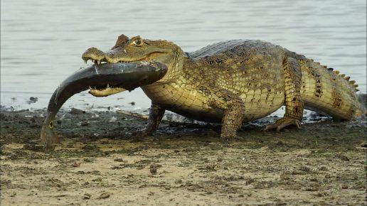 Крокодил с рыбой