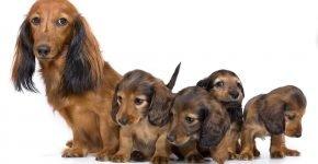Такса и её щенки