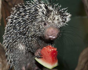 Дикобраз ест арбуз
