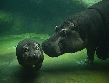 Бегемот с детёнышем под водой