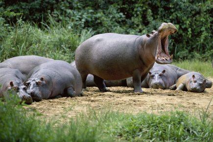 Бегемоты на берегу