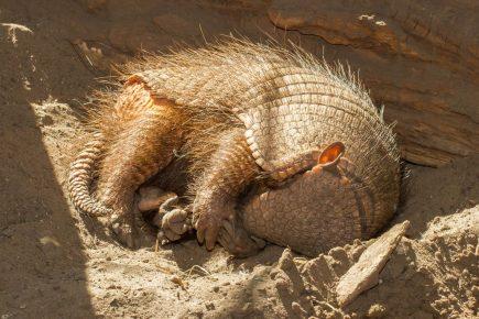 Броненосец спит
