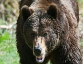 В Канаде на женщину и её десятимесячную дочь напал медведь