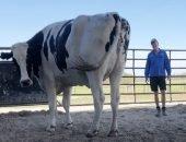 Бык-гигант живёт на ферме у австралийца