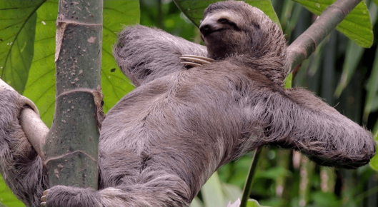 Направление роста шерсти у ленивца
