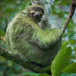Зелёная шерсть ленивца