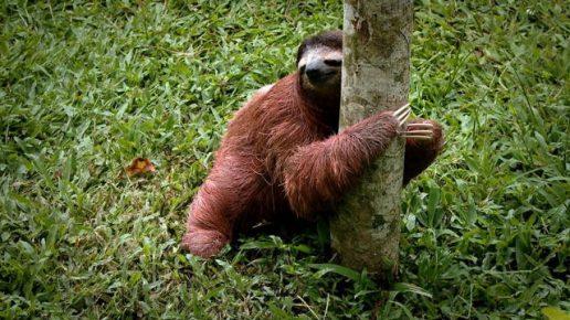 Ленивец спустился на землю