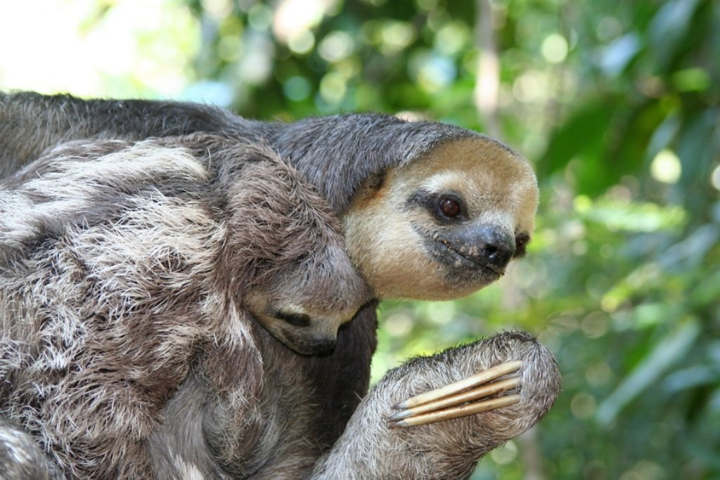 картинка ленивица животное предыдущем заседании уже