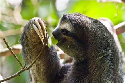Ленивец слизывает росу