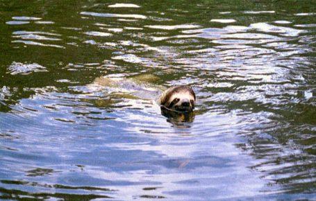 Ленивец плывет в реке