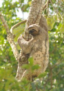 Ленивец лезет на дерево