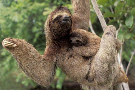 Ленивец с детёнышем