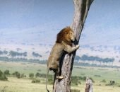 Молодой лев залез на дерево, а дорогу назад забыл