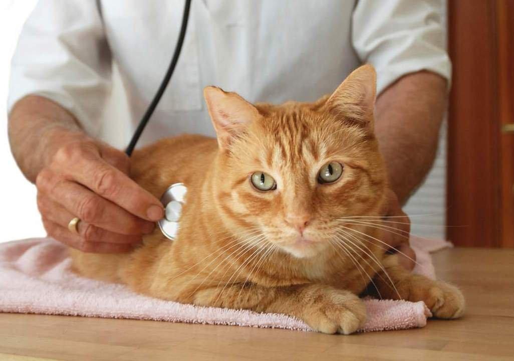 Мочекаменная болезнь у кошек - симптомы, лечебные корма и профилактика