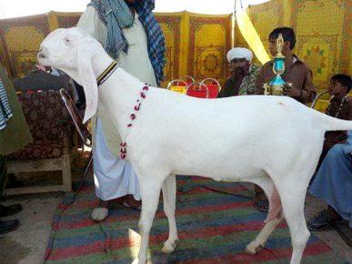 Белая коза Шами