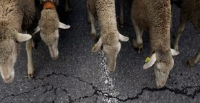 Овца шла по встречной полосе по МКАД