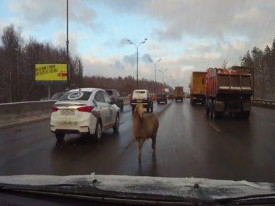 Овца прогулялась по МКАД и едва не устроила затор