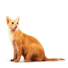 Кошка цейлонской породы