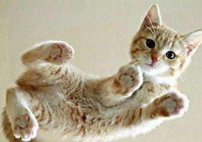 Котёнок цейлонской породы