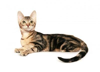 Цейлонская кошка черепахового окраса