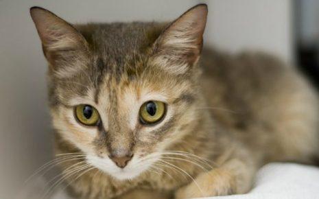 Глаза цейлонской кошки